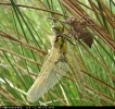 Pre-flight emergent Four-spotted Chaser at Tophill Low on 17/05/2008. - © Paul Ashton.