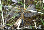 Four-spotted Chaser at Thorne Moor on 20/05/2008. - © Maurice Gordon.