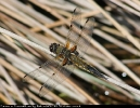 Four-spotted Chaser at Brown Rigg Beck on 04/07/2008. - © L&J Westmoreland.
