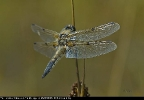 Four-spotted Chaser at Timble Ings on 25/07/2008. - © Stephen Lilley.