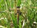 Four-spotted Chaser at Broomfleet Washlands on 21/05/2009 - © Paul Ashton