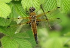 Four-spotted Chaser at Broomfleet Washlands on 11/05/2010 - © Paul Ashton.