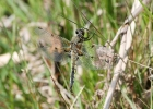 Four-spotted Chaser at Burn Howe Moor, Harwood Dale on 21/06/2009. - © John Hume.