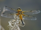 Four-spotted Chaser at Farnham Lakes on 23/06/2009. - © Stuart Roebuck.