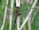 Four-spotted Chaser at Leven Canal on 28/05/2010 - © Paul Ashton.