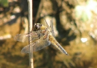 Four-spotted Chaser at Broomfleet Washlands on 31/05/2009. - © Paul Ashton.