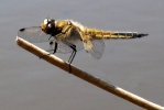 Four-spotted Chaser at Timble Ings on 01/06/2009. - © Geoff Hall.