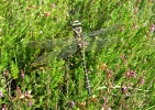 Golden-ringed Dragonfly at Cropton Forest on 04/08/2009. - © Keith Gittens.