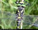 Male Golden-ringed Dragonfly at Newtondale Forest on 15/08/2006. - © Paul Ashton.