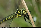 Golden-ringed Dragonfly at Timble Ings on 25/07/2008. - © Stephen Lilley.