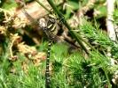 Golden-ringed Dragonfly at  Langdale Forest on 24/06/2009. - © Derrick Venus.