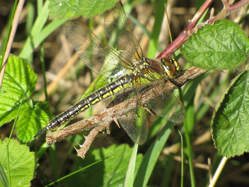 Female Hairy Dragonfly at Broomfleet on 12/05/2011 - © Paul Ashton.