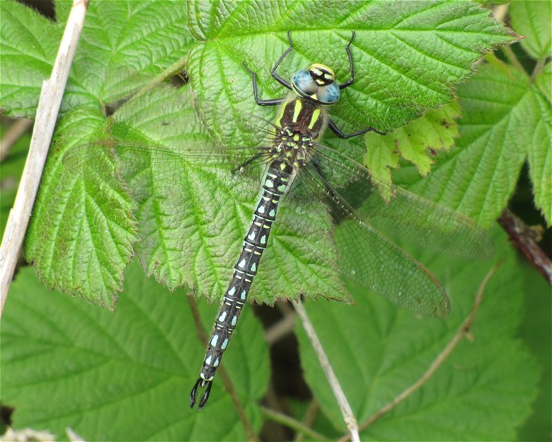 Male Hairy Dragonfly at Broomfleet on 12/05/2011 - © Paul Ashton.