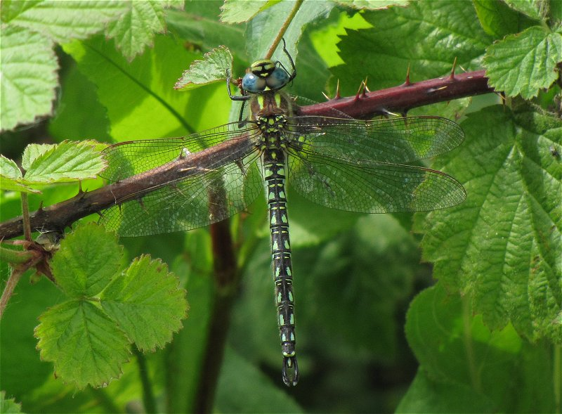 Male Hairy Dragonfly at Broomfleet on 12/05/2011 - © Paul Ashton.