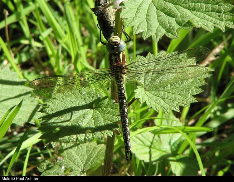 Male Hairy Dragonfly. - © Paul Ashton.