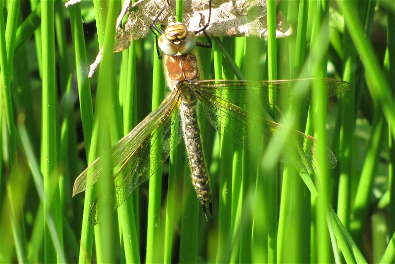 Female Hairy Dragonfly at Tophill Low on 15/05/2010 - © Paul Ashton.