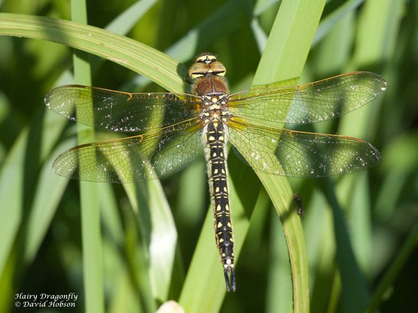 Female Hairy Dragonfly at High Eske Nature Reserve on 22/05/2010 - © David Hobson.