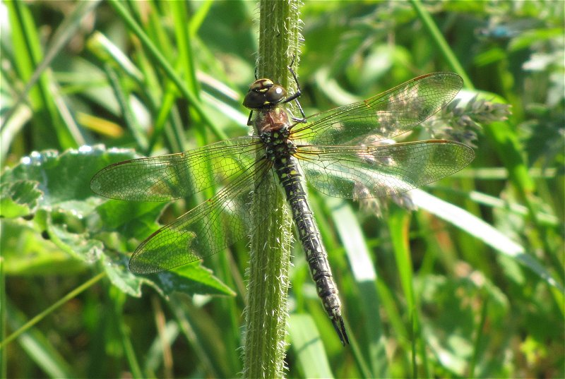 Female Hairy Dragonfly at Broomfleet Washlands on 22/06/2010 - © Paul Ashton.