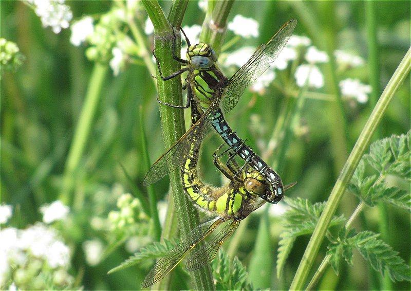Copulating Pair of Hairy Dragonfly at Broomfleet Washlands on 23/05/2010 - © Paul Ashton.