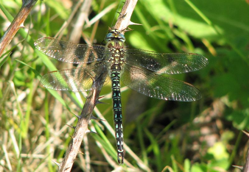 Male Hairy Dragonfly at the Broomfleet ponds Complex on 31/05/2009. - © Paul Ashton.