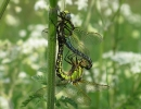Copulating Pair of Hairy Dragonfly at Broomfleet Washlands on 23/05/2010 - © Keith Gittens.