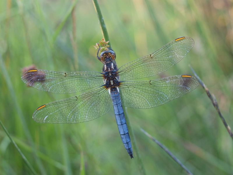 Keeled Skimmer at Fen Bog on 29/06/2009. - © Graham Featherstone.