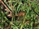 Keeled Skimmer at Tranmire Bog on 19/06/2009. - © Graham Featherstone.