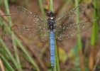 Male Keeled Skimmer at Fen Bog on 21/08/2009. - © Graham Featherstone.