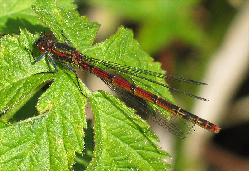Female typica form Large Red Damselfly at Tophill Low on 23/05/2010 - © Paul Ashton.