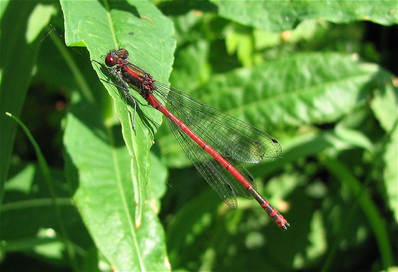 Male Large Red Damselfly at Broomfleet Ponds Complex on 31/05/2009. - © Paul Ashton.
