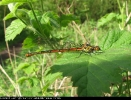 Female typica form Large Red Damselfly at Eastrington ponds on 26/04/2007. - © Paul Ashton.