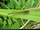Male Large Red Damselfly at Broomfleet Washlands on 22/05/2007. - © Paul Ashton.