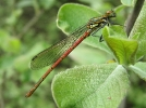 Male Large Red Damselfly at Broomfleet Washlands on 30/04/2009 - © Paul Ashton