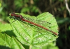 Male Large Red Damselfly at Broomfleet Washlands on 21/05/2009 - © Paul Ashton