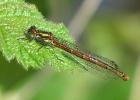 Female fulvipes form Large Red Damselfly at Broomfleet Ponds on 06/05/2010 - © Paul Ashton.