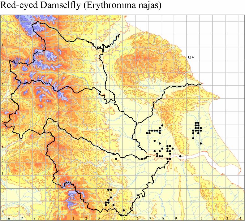 red-eyed-damselfly-erythromma-najas