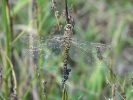 Female Migrant Hawker at Broomfleet on 09/09/2009. - © Paul Ashton.