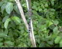 Male Migrant Hawker at North Cliffe Wood on 16/08/2006. - © Paul Ashton.