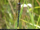 Male Migrant Hawker at Oak Road Lake, Hull on 25/08/2006. - © Diane Wakelin.