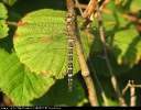 Male Migrant Hawker at North Cliffe Wood on 24/08/2007. - © Paul Ashton.