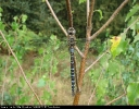 Male Migrant Hawker at North Cliffe Wood on 26/08/2007. - © Paul Ashton.