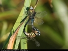Copulating pair of Migrant Hawker at Brandesburton Ponds on 07/09/2007. - © David Maston.