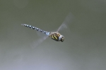 Migrant Hawker at Brandesburton Ponds on 25/08/2009. - © Andrew Ashworth.