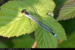 Male Red-eyed Damselfly at Brandesburton Ponds on 08/06/2007. - © Dave Maston.