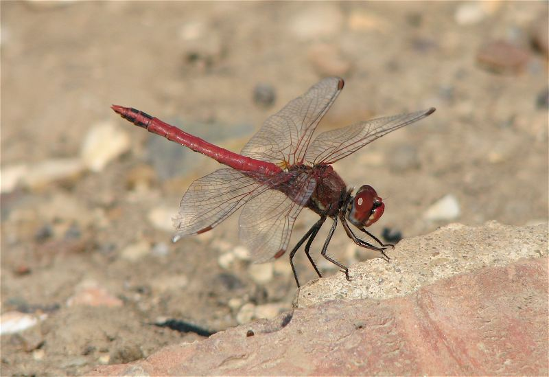 Male Red-veined Darter at Hornsea Mere on 02/07/2009. - © Paul Ashton.