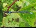 Male Small Red-eyed Damselfly at Oak Road Lake, Hull on 19/08/2007. - © Paul Ashton.