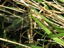 Female Southern Hawker at Newport Ponds on 17/08/2009. - © Paul Ashton.
