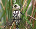 Southern Hawker at Tophill Low on 20/06/2009. - © Martin Hodges.
