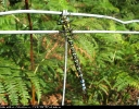Male Southern Hawker at North Cliffe Wood on 22/08/2007. - © Paul Ashton.