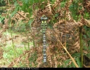Male Southern Hawker at North Cliffe Wood on 26/08/2007. - © Paul Ashton.